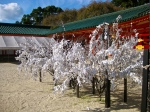 Heian Shrine.Those aren't blossoms--visitors purchase fortunes, and if they get a bad one they tie the paper to these trees for someone else to take.